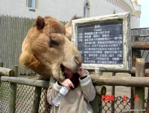 funny_camel_bites_a_girl_m1001